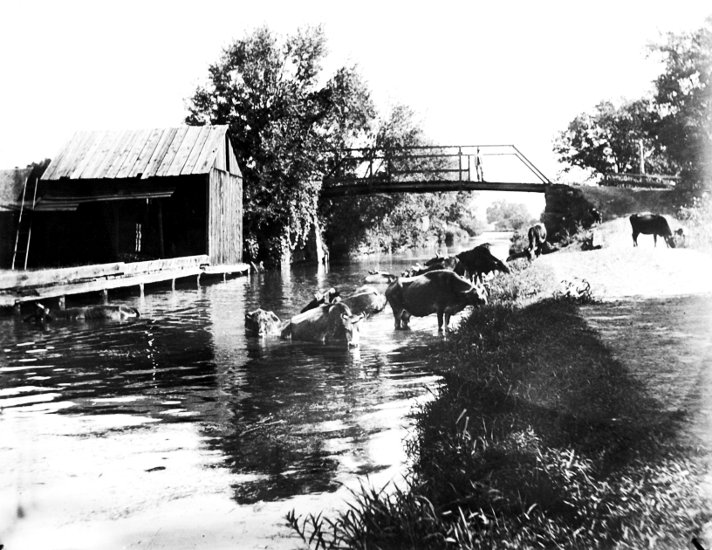 Cows-at-Bolivar-Bridge-1902.jpg